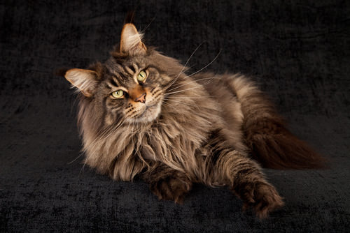 the 10 largest cat breeds