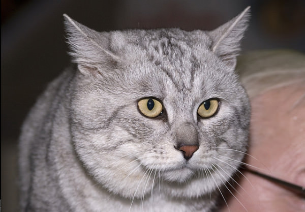 8 Of The Rarest Cat Breeds In Existence Today Iheartcats Com