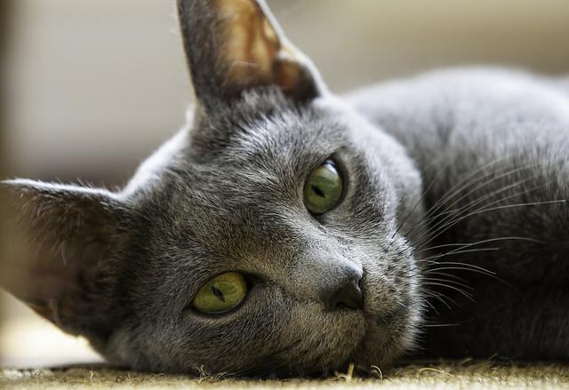 Hypoallergenic Cats Oriental Shorthair Cat