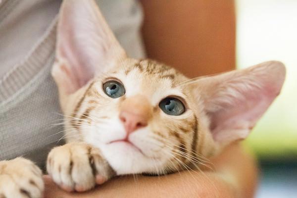 7 Designer Cat Breeds