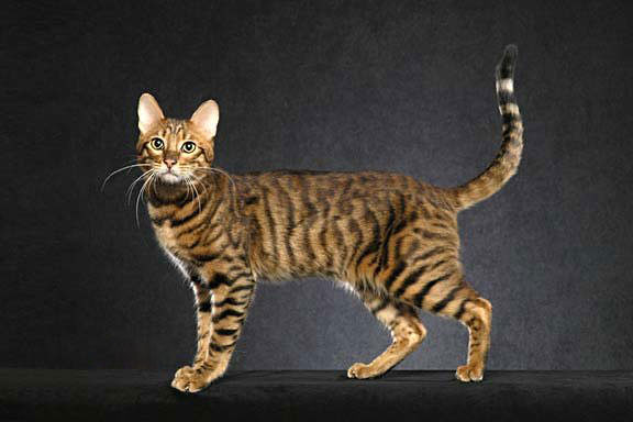 serengeti-cat1