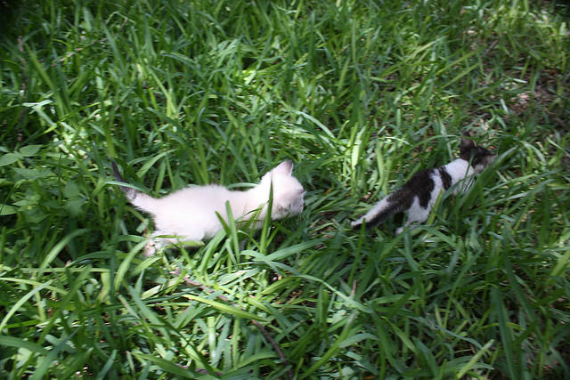 Stray or feral kittens are often found without a mother and therefor end up weaned too young, which can cause suckling behavior. Image source: @RoyMontgomery via Flickr