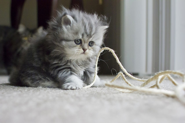Playing with your kitten and developing a strong bond can help curb suckling. Image source: @BelalKhan via Flickr