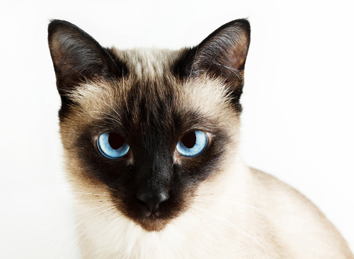 5 Things You Didn T Know About Siamese Cats Iheartcats Com