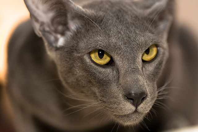 5 Things You Didn T Know About The Oriental Shorthair