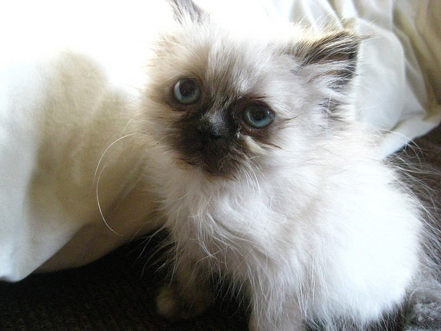 5 Things You Didn T Know About The Himalayan Cat