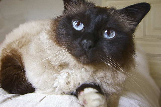 5 Things You Didn T Know About The Birman Cat Breed
