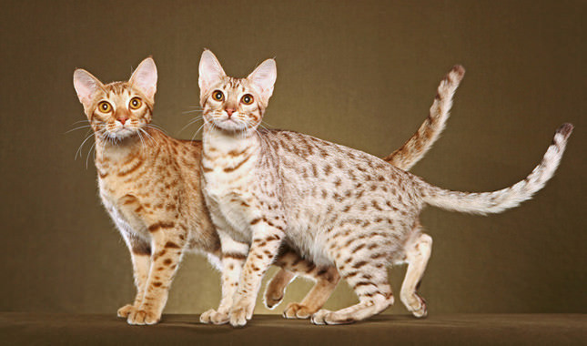 5 things you didn t know about the ocicat iheartcats com