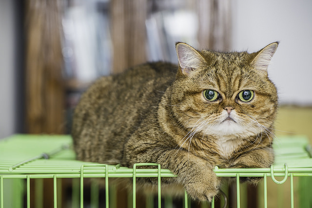 5 Things You Didn T Know About The Exotic Shorthair