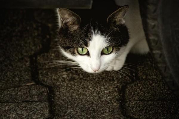 cat-207583_640-3