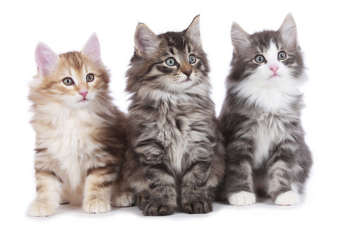 Maine coon norwegian forest cat mix