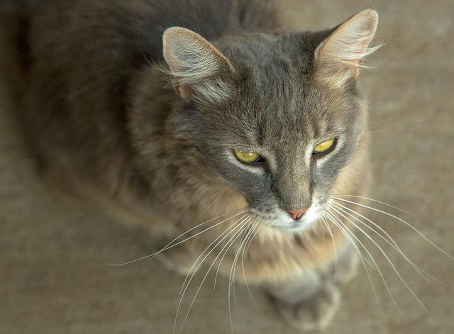 7 rare cat coat colors iheartcats com