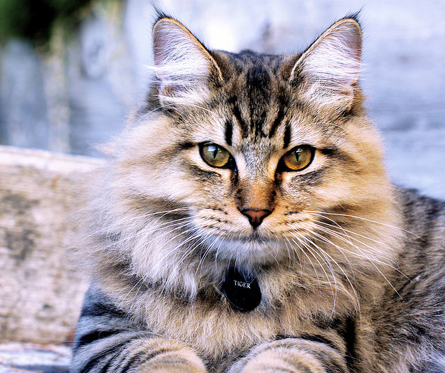 5 Things You Didn't Know About The American Bobtail