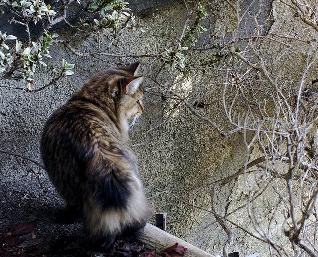 American Bobtail Tabby Cat