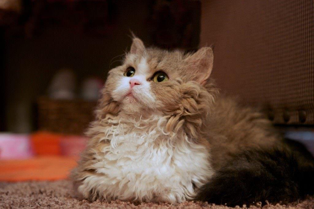 15 Weirdest Looking Cat Breeds - iHeartCats.com