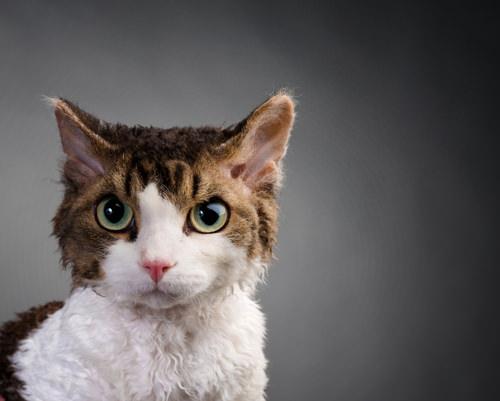 15 Weirdest Looking Cat Breeds Iheartcats Com All Cats Matter