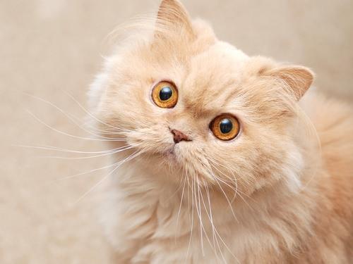 7 Rare Cat Coat Colors