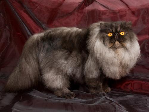 Grey Smokey Grey Abyssinian Cat