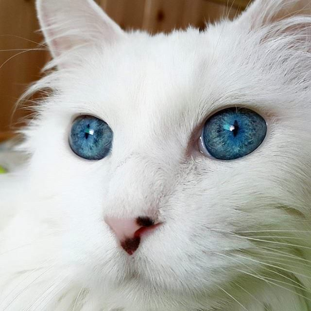 This Cat Has The Most Stunningly Beautiful Blue Eyes You