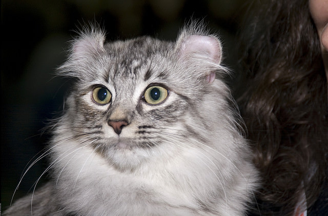 American Curl Cat Personality