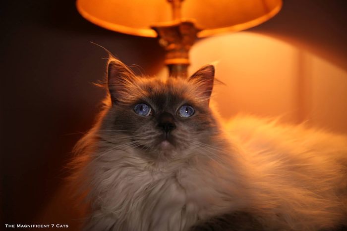 5 Pixie M7 for iheartcats 10 Sept 2015