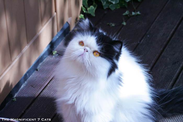 6 Norman M7 for iheartcats 10 Sept 2015