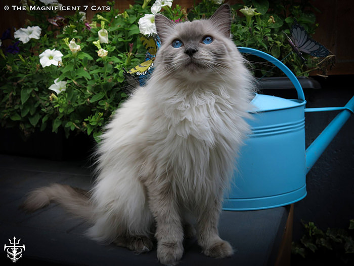 Pixie eye for iheartcats 7 Sep 2015