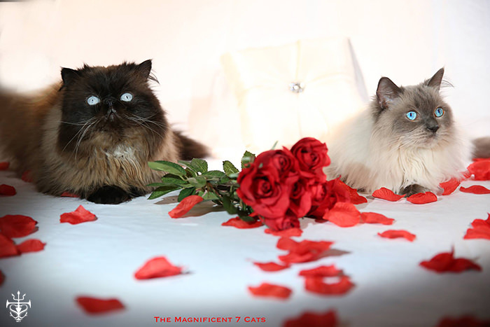 Tom and Pixie roses for iheartcats Sep 2015