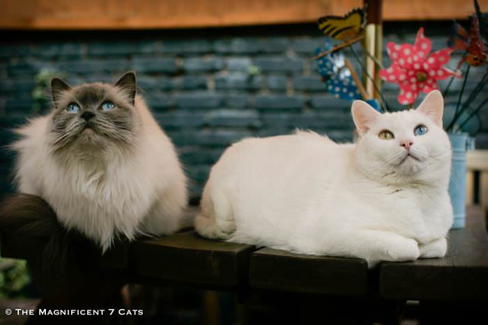 pixie and junior iheartcats 28 Sep 2015