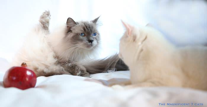 PIXIE AND JUNIOR M7 iheartcats 1 Oct 2015