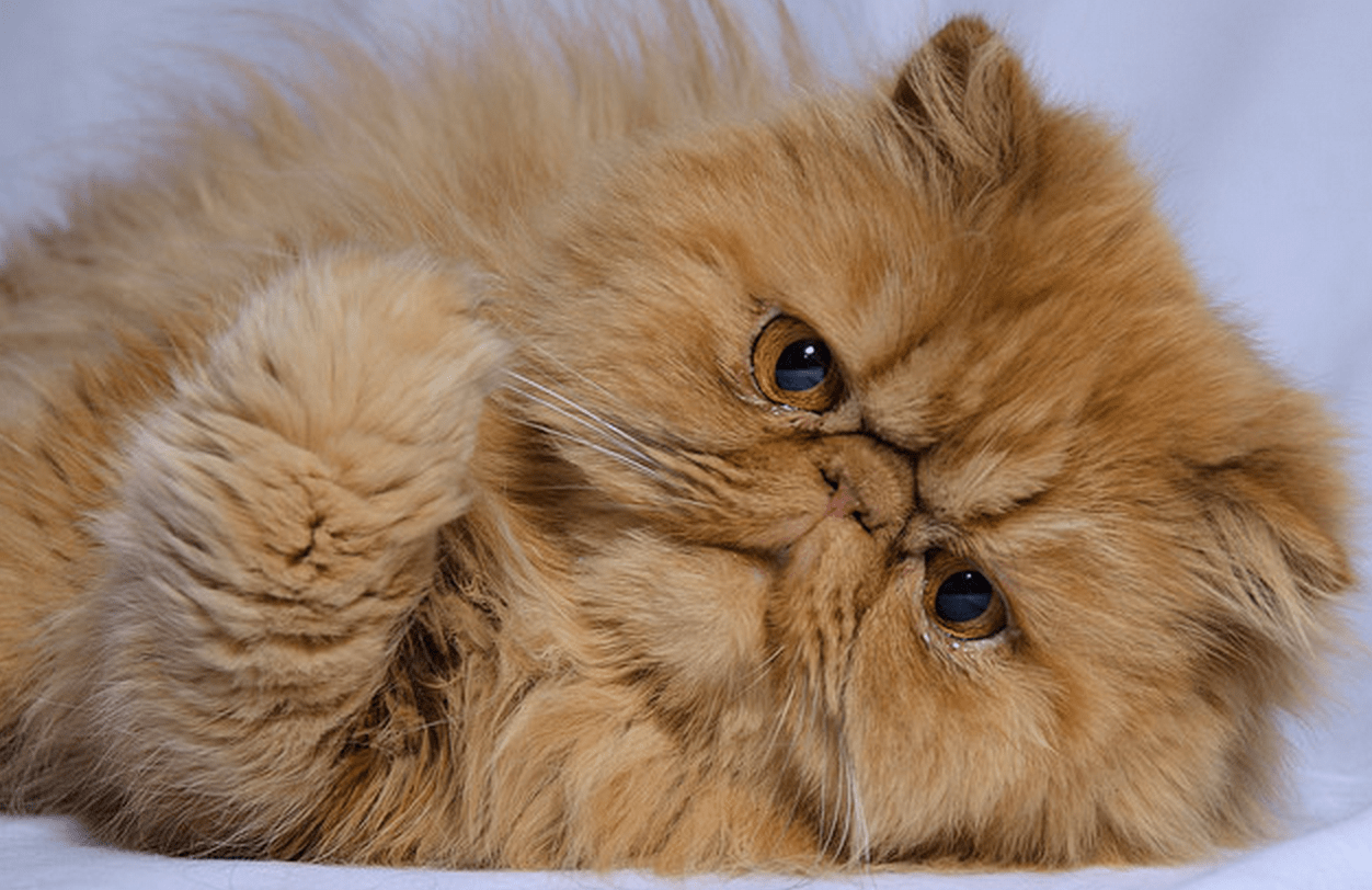 9 Cat Breeds That Love To Snuggle iHeartCats