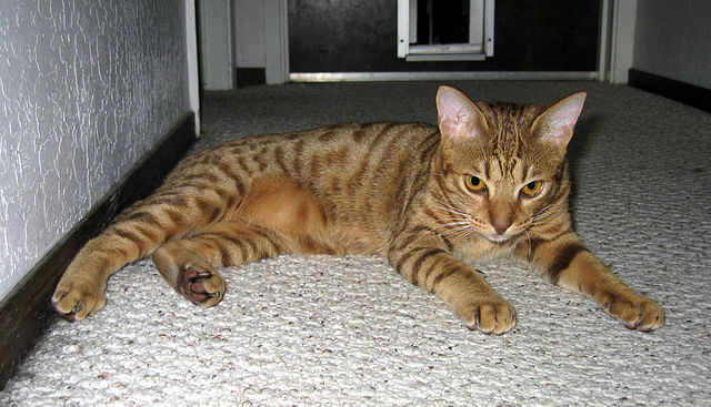 "Image source:  ""Chocolate-Spotted-Ocicat"" by Check-Six at English Wikipedia - Transferred from en.wikipedia to Commons.. Licensed under Public Domain via Commons"