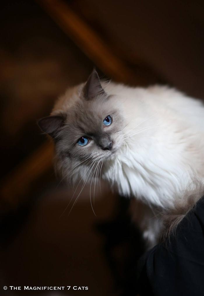 iheartcats 26 Oct 2015 Pixie