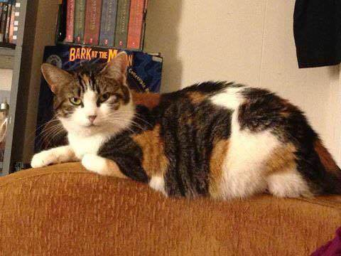 Why Can T Calico Cats Be Male