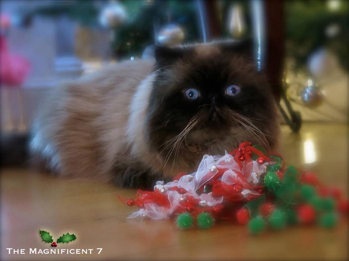 M7 iheartcats 8 Dec2015 Tom Christmas