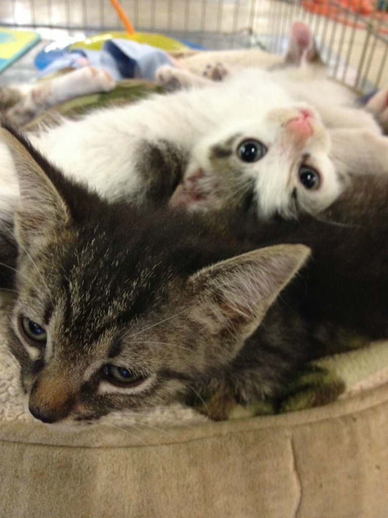 It's important for kittens to become socialized to people, but it's also important for them to be comfortable with other cats. Plus, kittens need rough-and-tumble playmates.