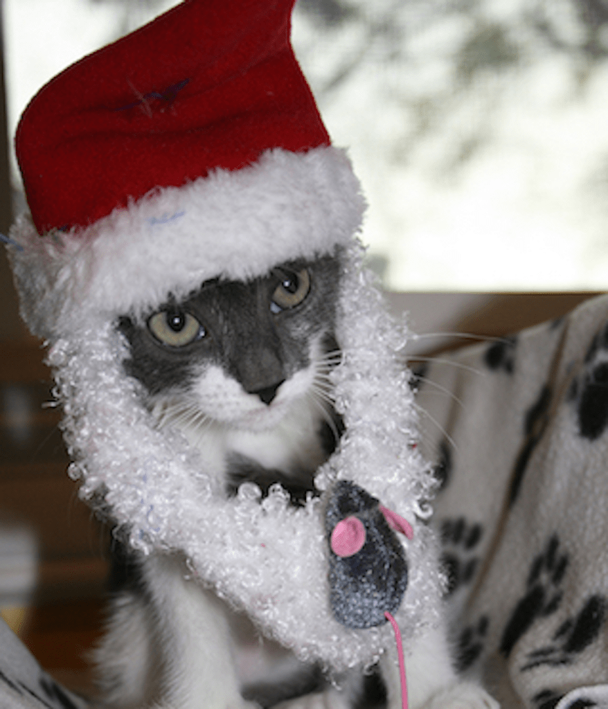 Gunnison wonders if Santa will bring him a miracle. Image source: Kitty Bungalow