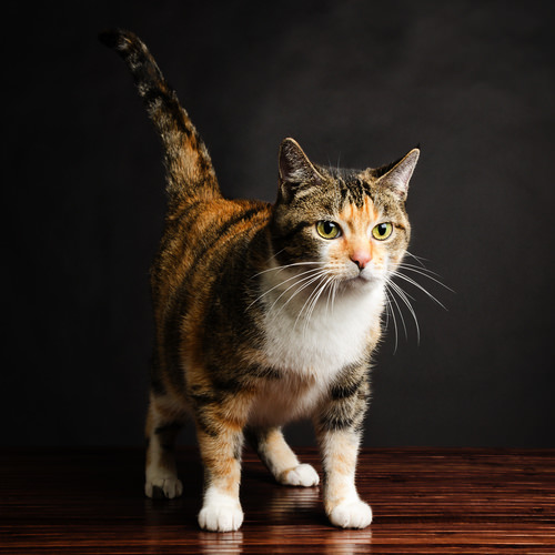 10 Reasons Why Calico Cats Are Awesome