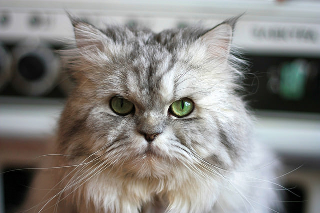 A typical round-faced cat.