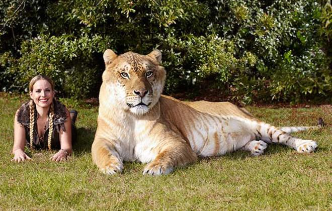 Biggest Cat In The World Guinness 2016 meet 8 cats who hold guinness world records! - iheartcats
