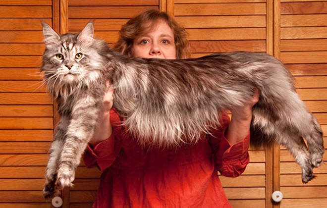Smallest Cat In The World Guinness 2016 meet 8 cats who hold guinness world records! - iheartcats