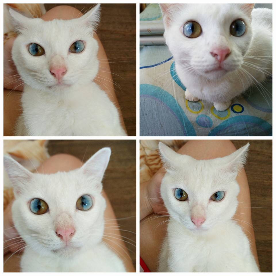 Cats With MultiColored Eyes Are StunningBut What Causes It - This cat has the most amazing multi coloured eyes ever