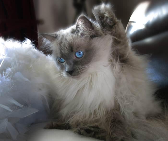 Pixie legup iheartcats 8 Feb 16
