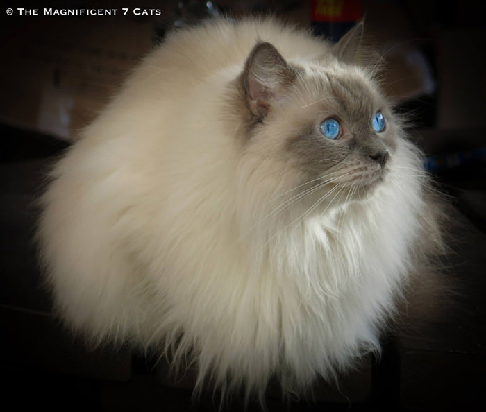Pixie puffball iheartcats 8 Feb 16
