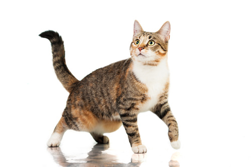 Ask A Vet Did You Know That Cats Get Hip Dysplasia