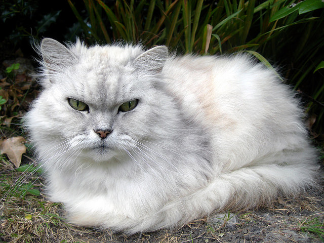 8 Smartest Cat Breeds ...