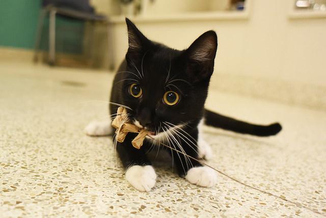 "Cameron, available for adoption. Image Source: http://www.aspca.org/nyc/aspca-adoption-center/adoptable-cats/cameron-a31417301"">ASPCA"