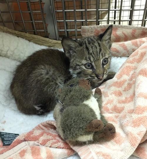 bobcat 4