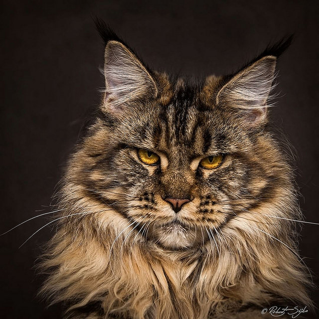 these majestic photos of maine coons will take your breath away. Black Bedroom Furniture Sets. Home Design Ideas