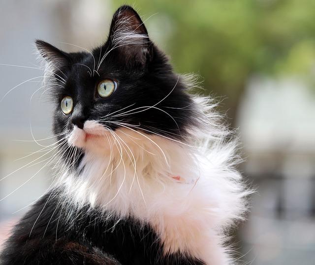 tuxedo-cat-916335_640